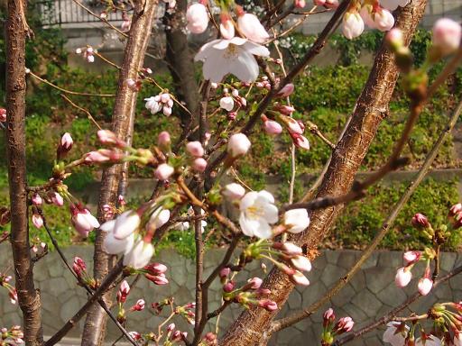 20150328・桜坂植物08・ソメイヨシノ