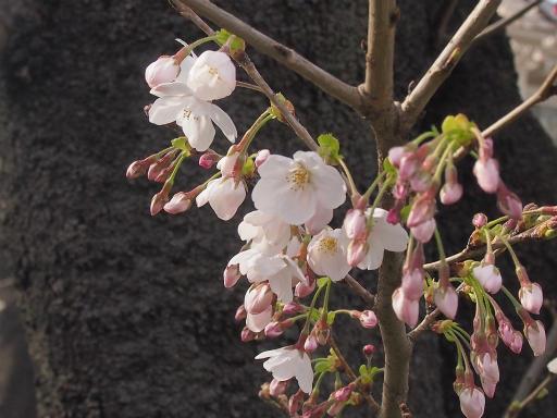 20150328・桜坂植物12・ソメイヨシノ