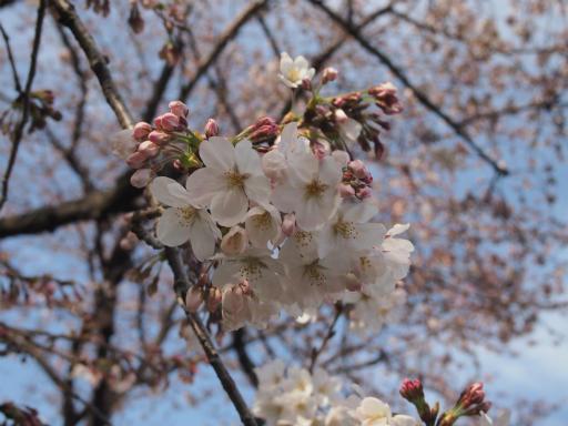 20150328・桜坂植物10・ソメイヨシノ