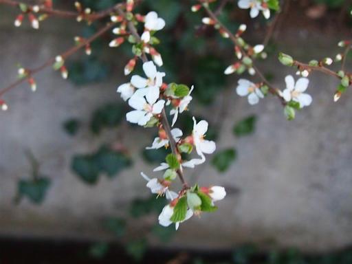 20150328・桜坂植物18・ユスラウメ