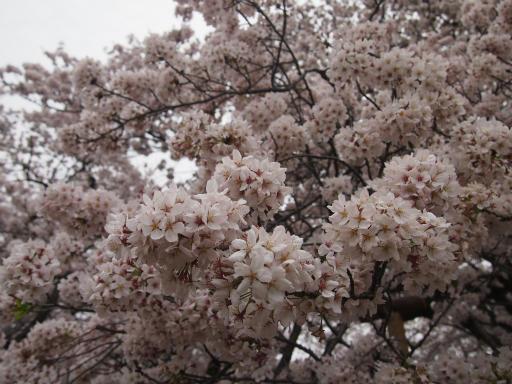 20150404・小金井1-11