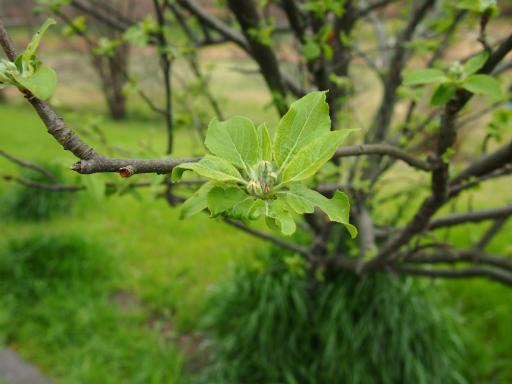 20150404・小金井植物4・ヒメリンゴ