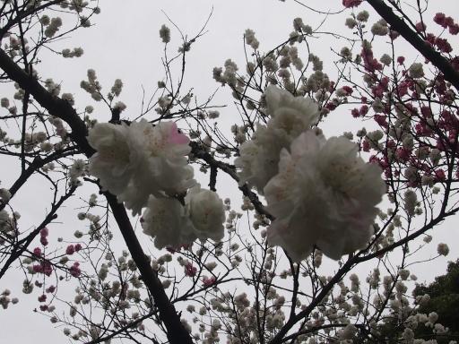 20150404・小金井空01・ハナモモと空