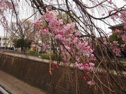 20150410・妙正寺川1-16