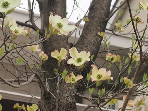 20150410・妙正寺川植物06・ハナミズキ