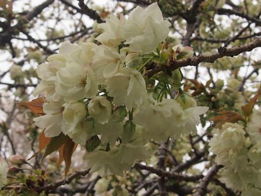 20150410・妙正寺川植物05・ウコンザクラ