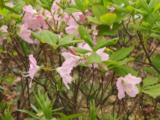 20150410・妙正寺川植物12・クロフネツツジ