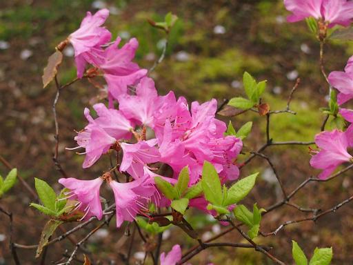 20150410・妙正寺川植物11・ヨシノツツジ