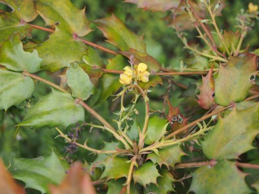 20150410・妙正寺川植物17・ヒイラギナンテン