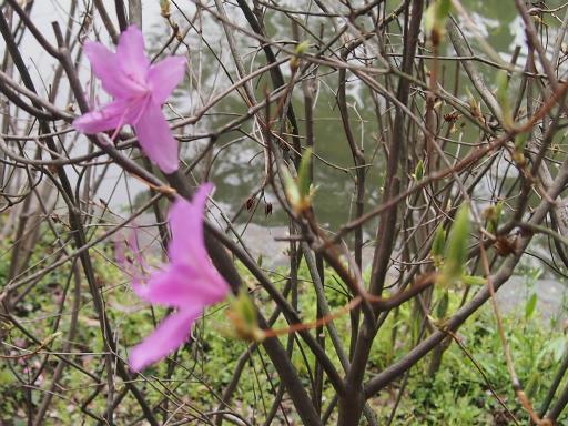 20150410・妙正寺川植物13・ミツバツツジ