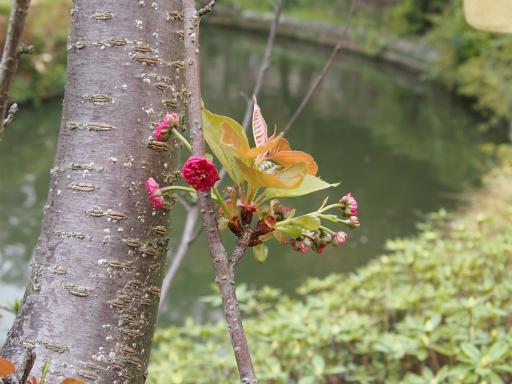 20150410・妙正寺川植物14・カンヒザクラ
