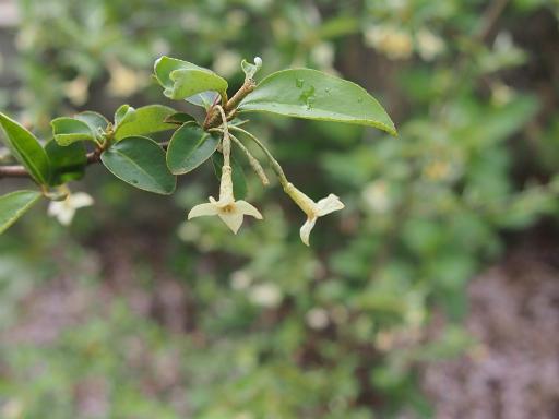 20150410・妙正寺川植物21・グミ