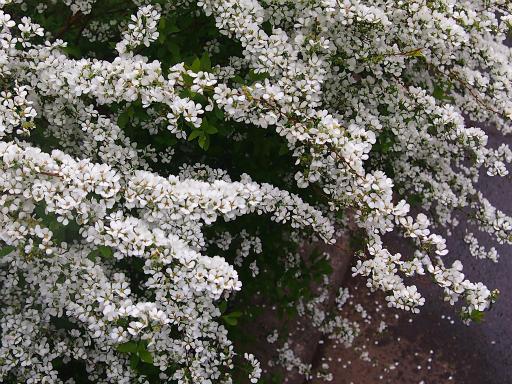 20150410・妙正寺川植物22・ユキヤナギ