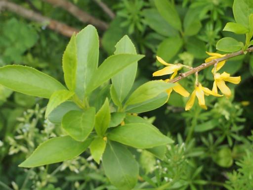 20150410・妙正寺川植物20・レンギョウ