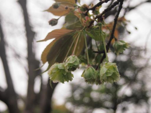 20150410・妙正寺川植物26・ギョイコウ