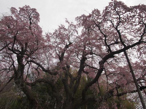 20150419・福島空前04・地蔵桜