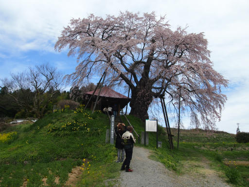 20150419・福島空前01・不動桜