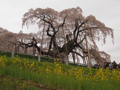 20150419・福島空前07・滝桜