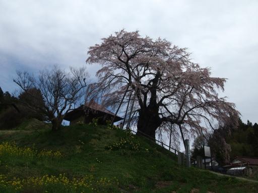 20150523・桜09・0419・郡山不動桜