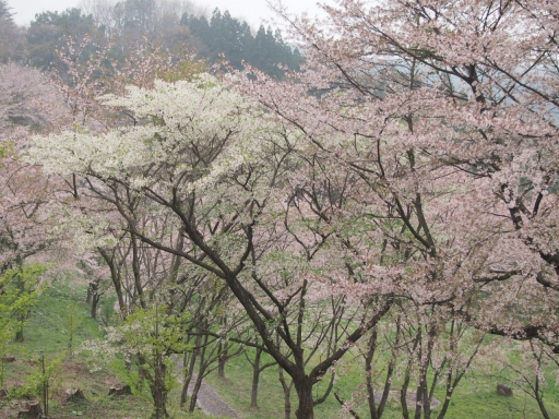 20150523・桜18・0420・霞ヶ城