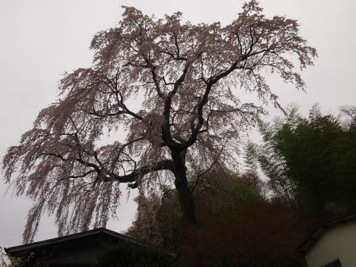 20150523・桜14・0419・三春常楽院