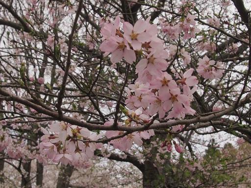20150419・福島植物05・ソメイヨシノ