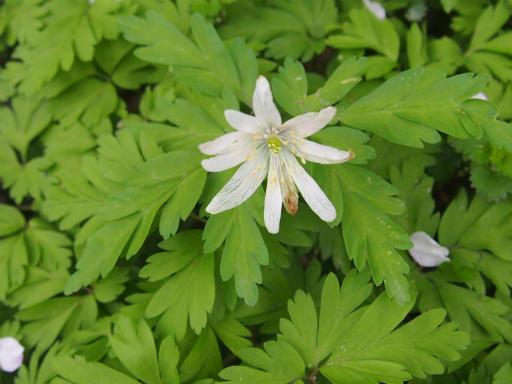 20150419・福島植物10・アズマイチゲ