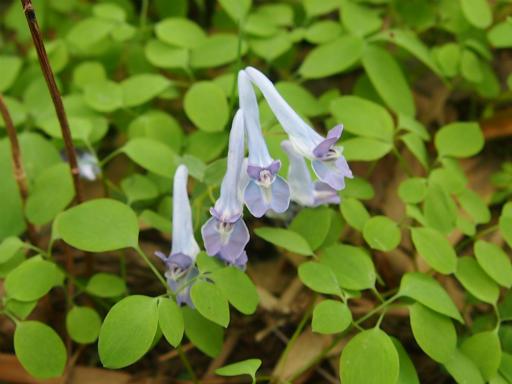 20150419・福島植物07・ジロボウエンゴサク