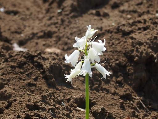 20150426・近所植物03・ツリガネズイセン