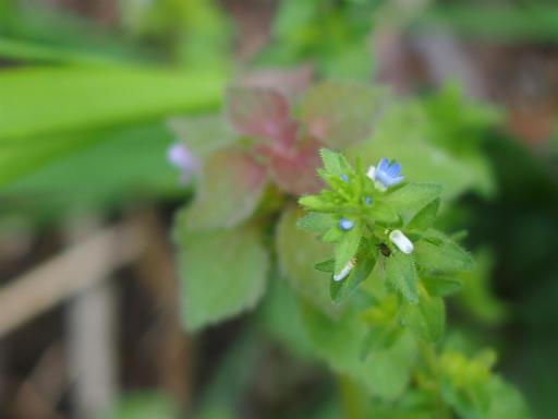 20150426・近所植物09・タチイヌノフグリ