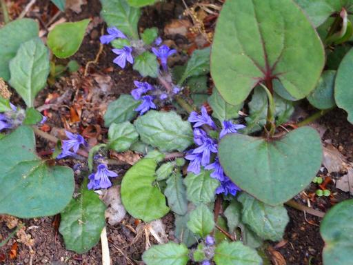 20150426・近所植物10・キランソウ