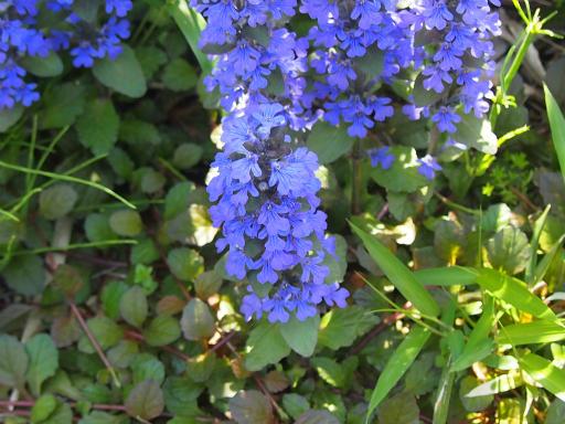 20150426・近所植物07・セイヨウジュウニヒトエ