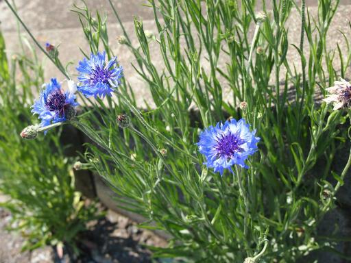 20150426・近所植物05・ヤグルマギク