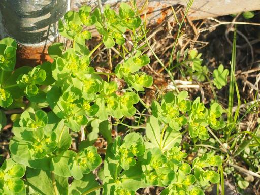 20150426・近所植物16・トウダイグサ