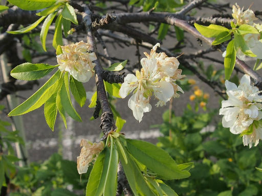 20150426・近所植物14・スモモ