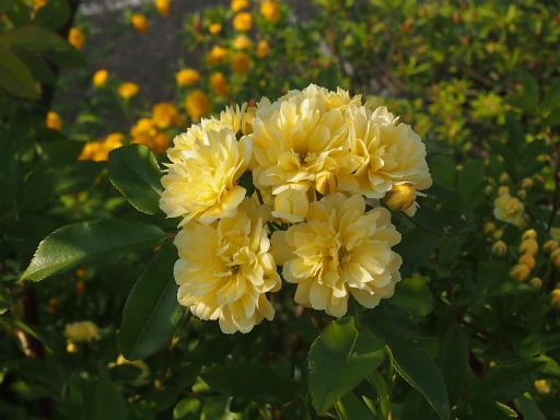 20150426・近所植物15・モッコウバラ