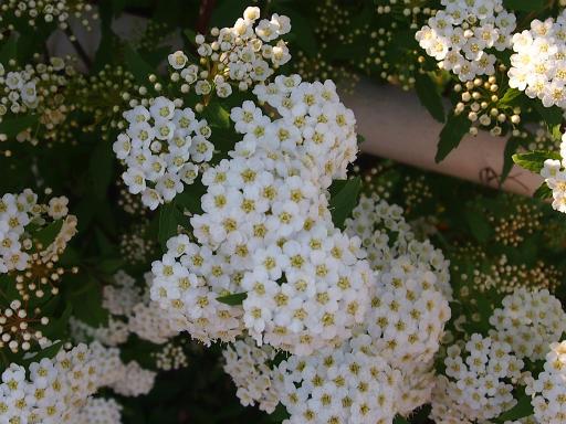 20150426・近所植物13・コデマリ