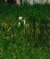 やぎさん、草刈り