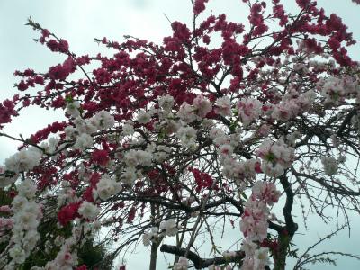 2015年4月千葉の花の4