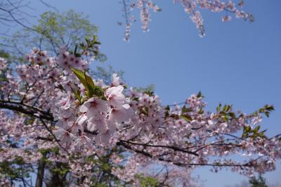 2015年4月桜の2