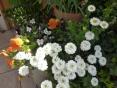 今年も開花