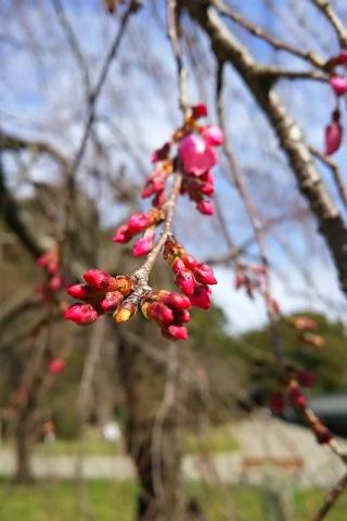 2015/03/20現在、つぼみ
