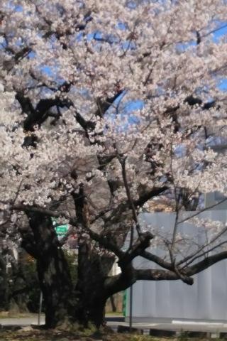 2015/03/25裁判所の桜