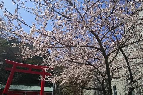 天神社の桜