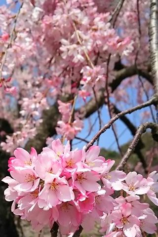 徳島中央公園、しだれ桜