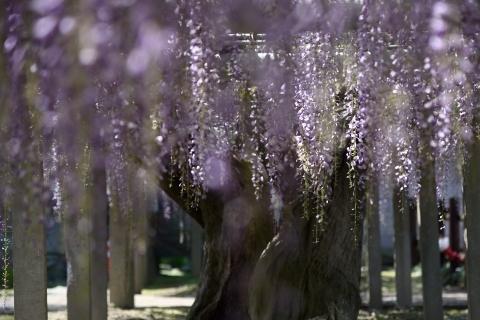 樹齢250年