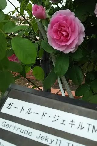 バラ品種 ガートルード・ジェキル