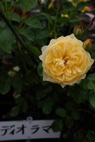 バラ品種 ディオラマ