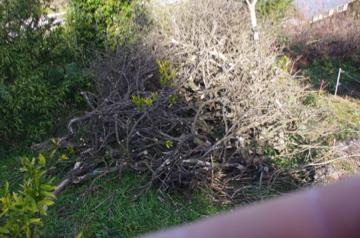 枯れた木の剪定