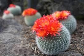 ブログ写真で「サボテンの花」をグーグル検索で写真撮影した